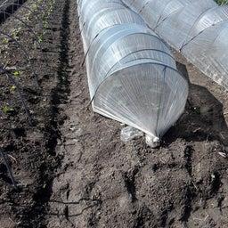 画像 春白菜と春大根と人参と の記事より 1つ目
