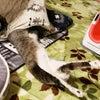 ★ のぼせ猫の画像