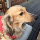 ♥愛犬チェリーを救いたい♪愛のリレー♡①の記事より
