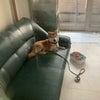 柴犬のお泊まりの画像