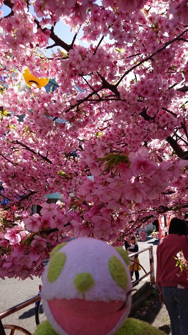 桜 三浦 まつり 海岸