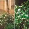 春はもうすぐの便りといえば『沈丁花』甘い香りの効果とは?!の画像