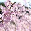 小春日和の満開河津桜と龍潭寺(静岡県浜松市)の画像