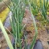 泉州タマネギ、エコ栽培を体験しよう❗️の画像