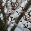 ヤマザクラと春告げ鳥の画像