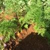 久米島での野菜づくり2020年2月末の画像