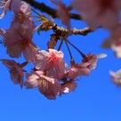 春の香りに誘われて~レボ君とお花見デートの記事より