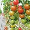 ミニトマト色が乗ってきましたの画像