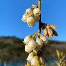 ブルーベリーの開花、農園は春の喜びに包まれています。の記事より