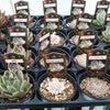 多肉植物入荷の画像