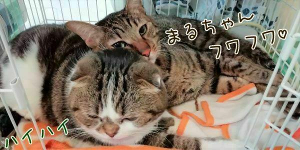猫のまるちゃんと茶々丸くんの画像