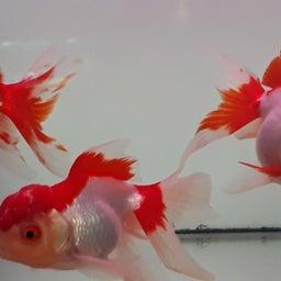 画像 飯田の金魚は真っ赤っか!の巻き! の記事より 2つ目