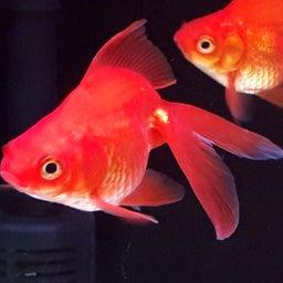画像 飯田の金魚は真っ赤っか!の巻き! の記事より 1つ目