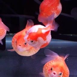 画像 飯田の金魚は真っ赤っか!の巻き! の記事より 3つ目