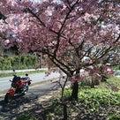 春うらら~♪成田山新勝寺のカメものびてます(^-^)の記事より
