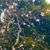 桜と雪の画像