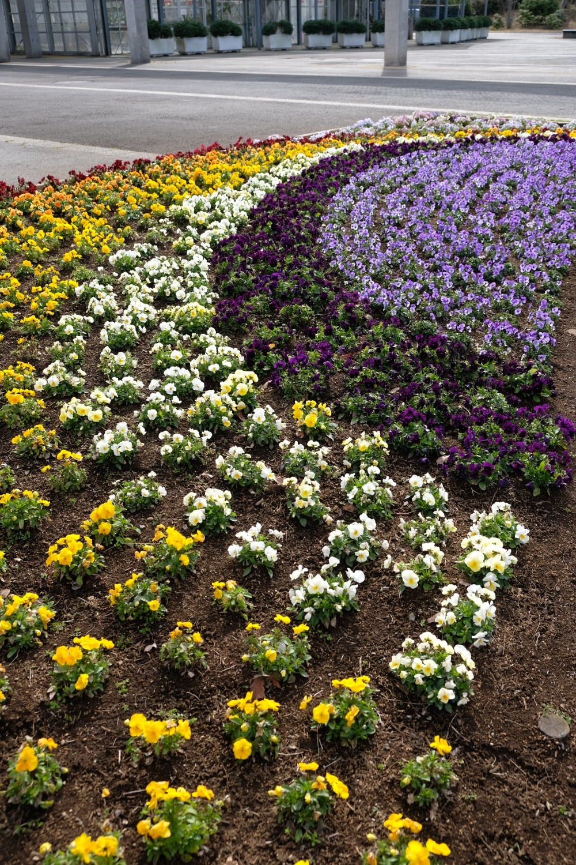 文系エンジニアの生活北総花の丘公園は開花が進んでいます