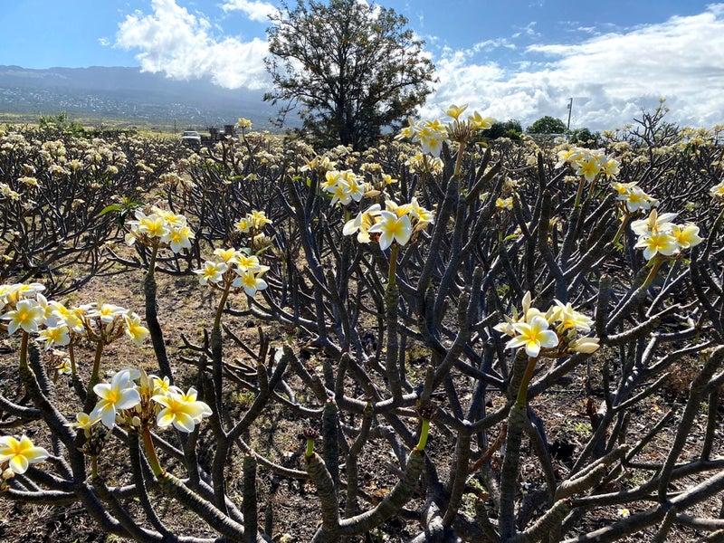 ハワイ島プウコホラヘイアウ、ラパカヒ、ポロル渓谷、ワイメア、ムーンボウ木村さん後半
