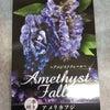 二季咲きアメリカフジ~アメジストフォールが入荷しました。の画像