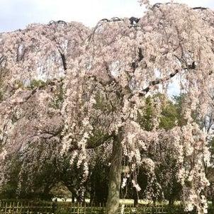 京都御苑の枝垂桜が満開です♪の画像