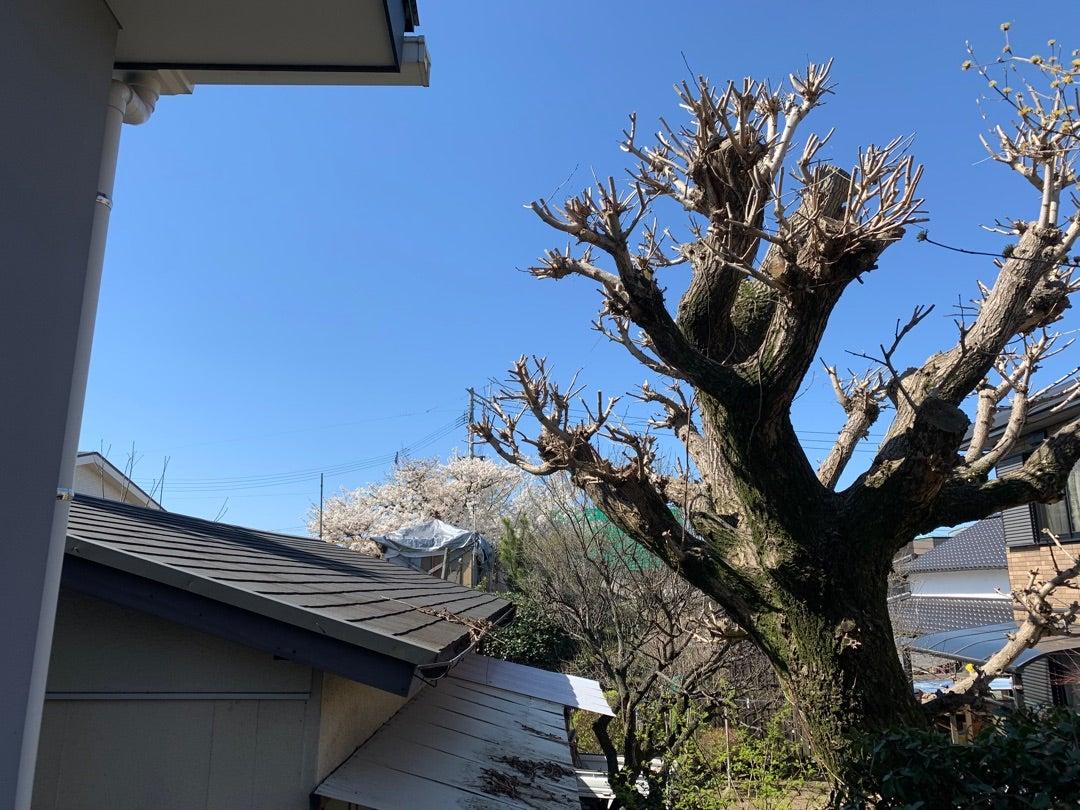 あやの里の裏庭の山桜を見に行くと、去年とは違う景色が。