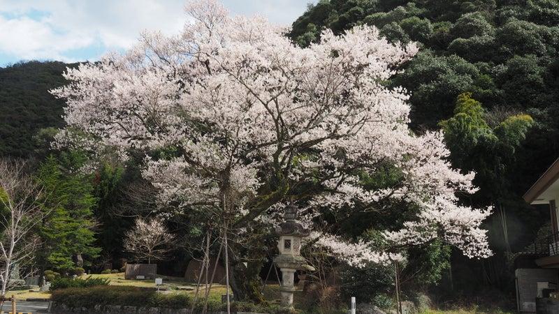 鵜飼桜と岐阜護国神社2020-1