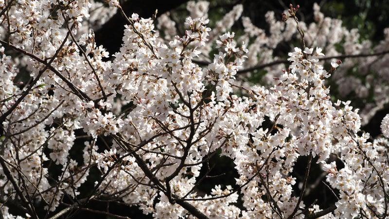鵜飼桜と岐阜護国神社2020-3