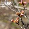 桜の開花状況とオソト天国の画像