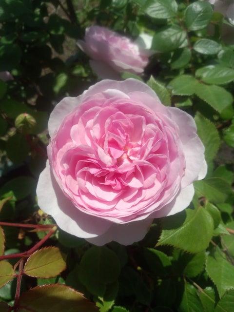 習近平主席の後ろ楯」 庭の薔薇図鑑 オリビア・ローズ・オースチン ER ...