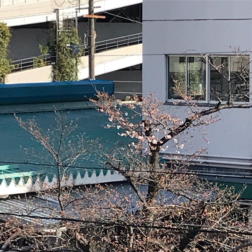 茨木 さくらが咲きました