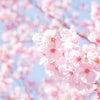 桜さくの画像