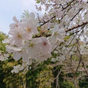 2020年の桜の画像