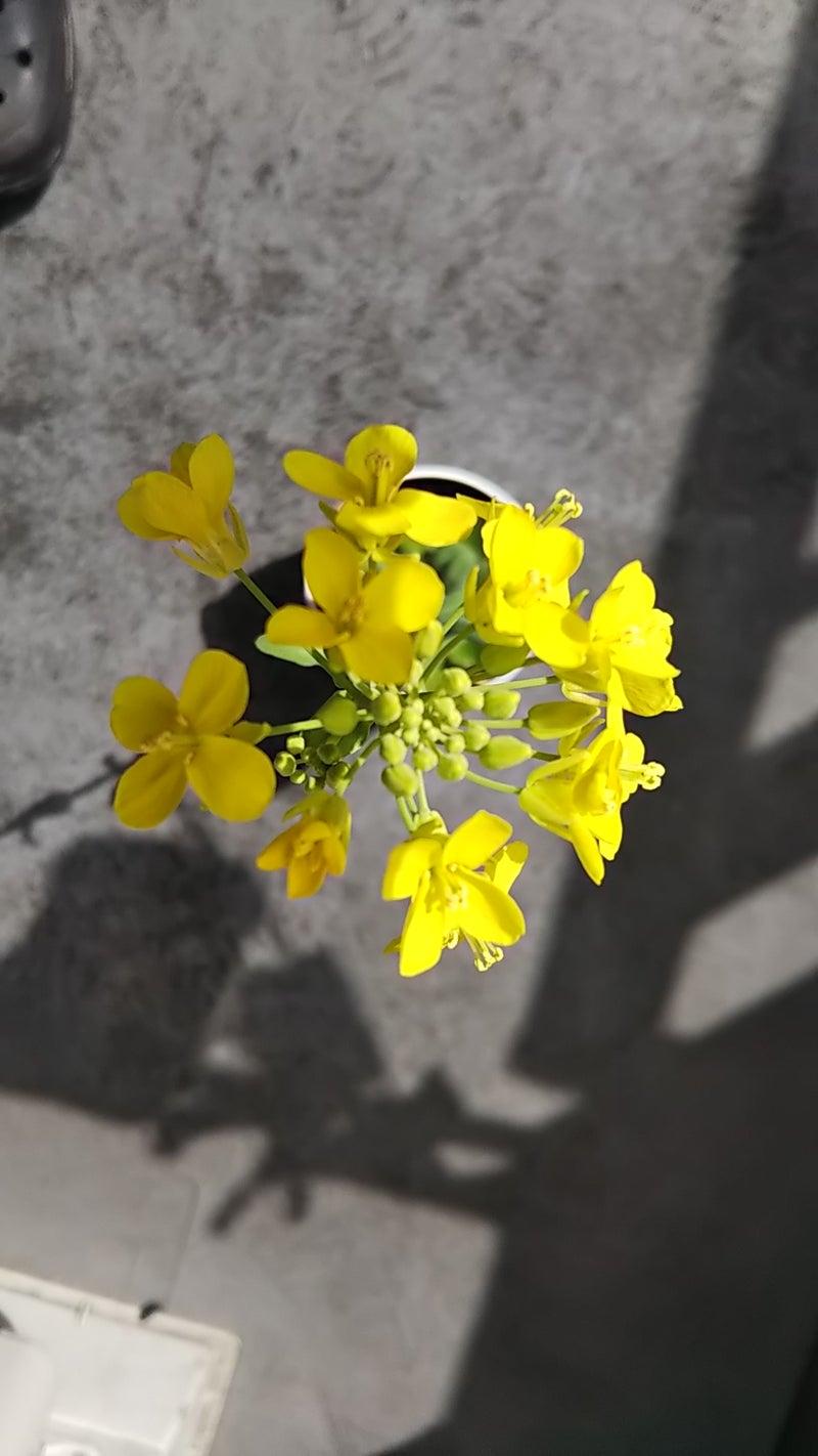 チンゲンサイの花
