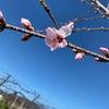 桃の花が咲き始めましたの画像