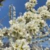 スモモの花が綺麗に咲いていますの画像