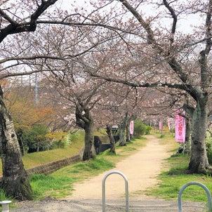 妙見坂 桜の花見の画像