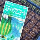 ステイックセニョール(茎ブロッコリー)の 種蒔き!の記事より