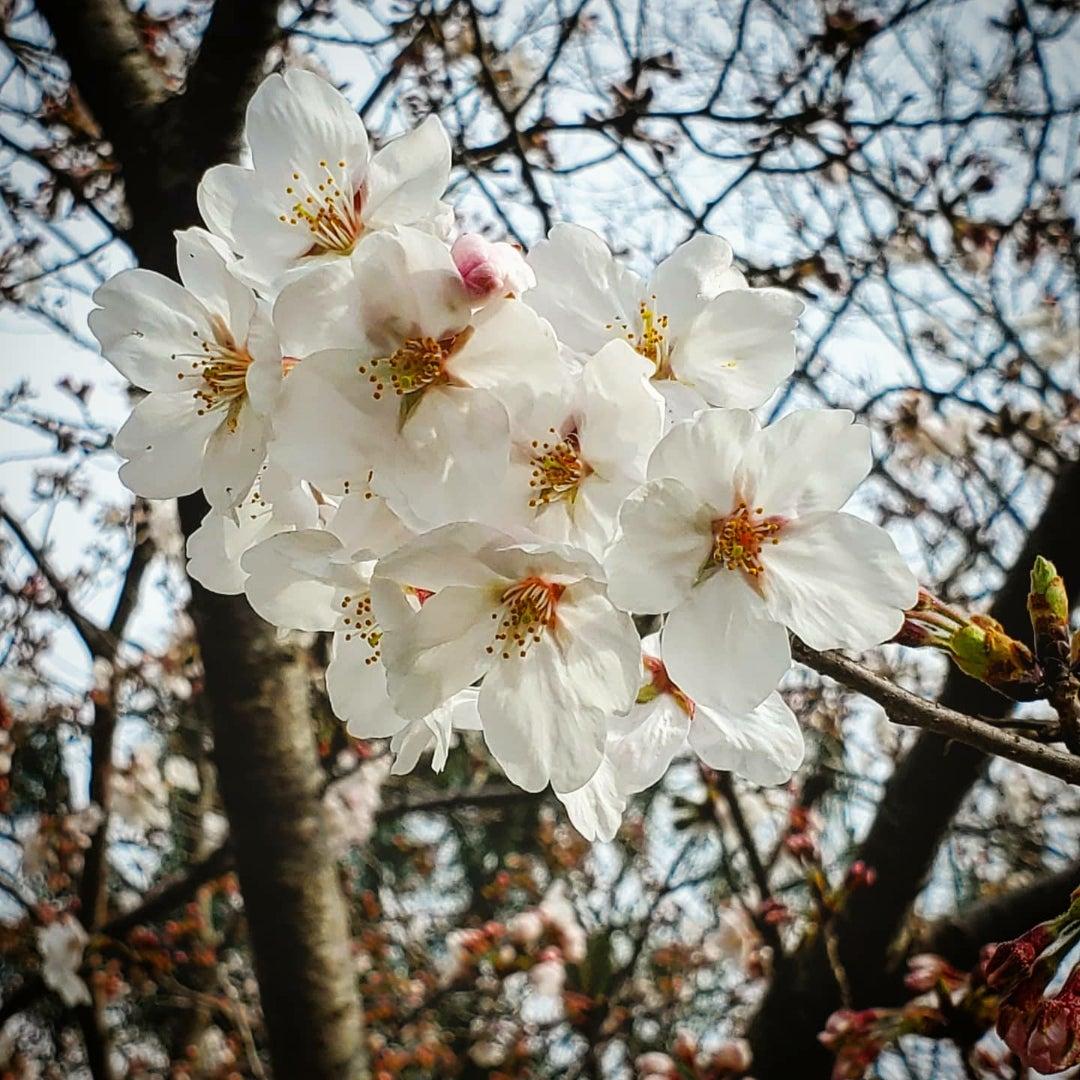 ぺんぺん草の桜