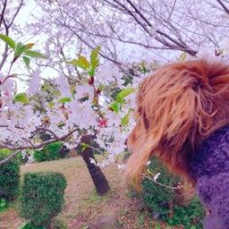 画像 桜 の記事より 4つ目