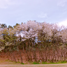 画像 桜 の記事より 1つ目