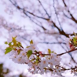 画像 桜 の記事より 3つ目