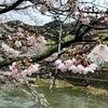 桜の開花状況(3月28日)の画像
