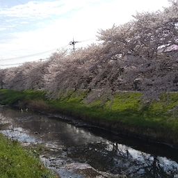 画像 外出自粛の桜ですよ の記事より 6つ目