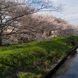 画像 外出自粛の桜ですよ の記事より 3つ目