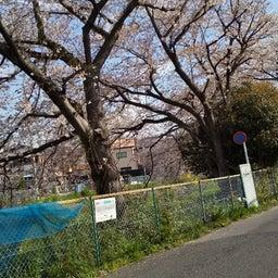 画像 外出自粛の桜ですよ の記事より 8つ目