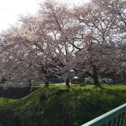 画像 外出自粛の桜ですよ の記事より 4つ目