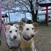 昨日の桜散歩の画像