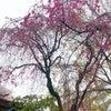 桜と雪の共演 再びの画像