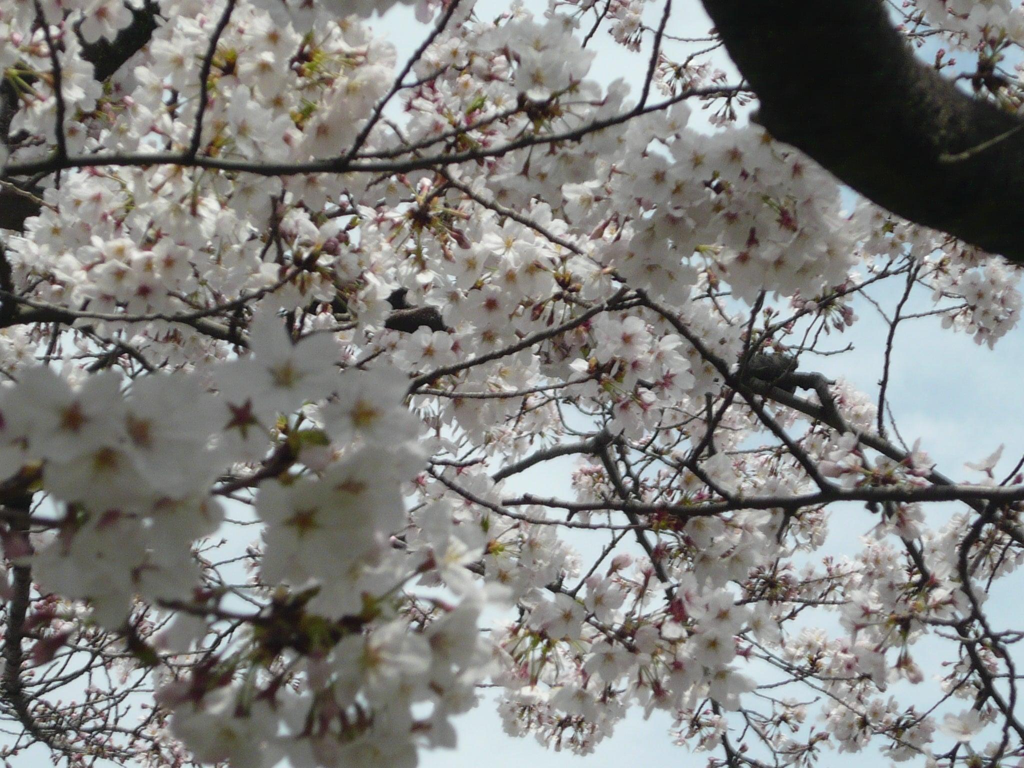 近所の桜は九分咲き。