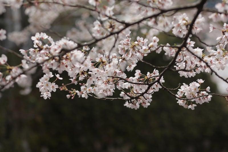 桜 開花 予想 2020 年